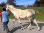 """Rocky"" is a 2008, 16.2 hand, grey Thoroughbred Gelding For Sale"