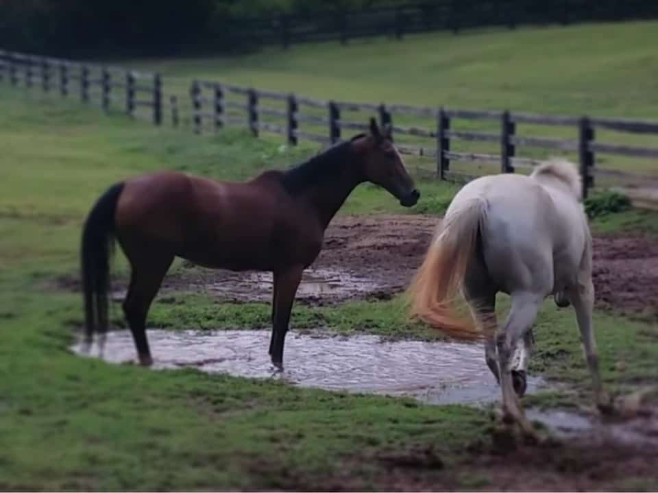 Two thoroughbreds fight to see who can get muddier in the puddle.