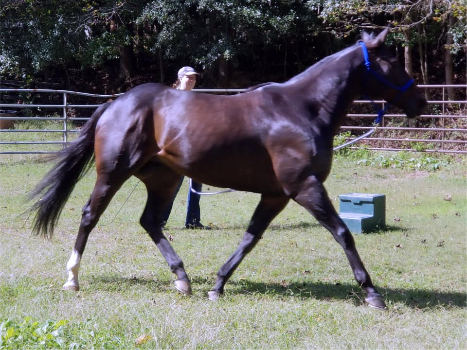 Swear-Thoroughbred horse for sale at Bits & Bytes Farm