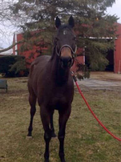 Dazzling Deputy is a 2013, dark bay, 16.2 hand Thoroughbred gelding with a sweet personality.